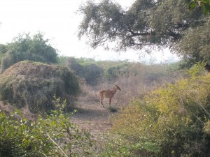30 antilope