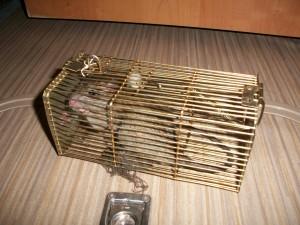 40 le rat