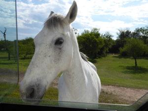 ce cheval est vraiment curieux il a voulu entrer sa tête dans le camping car