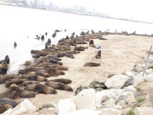 Mar del Plata les lions de mer