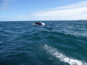 Péninsule Valdes les baleines