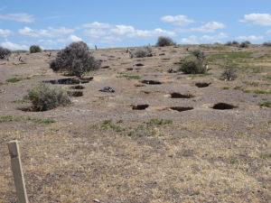 Punta tombo :  les nids des manchots