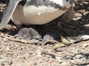 Punta Tombo :  éclosion de 2 petits