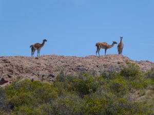 Cabo dos Bahia    encore des guanacos