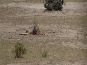 Cabo dos Bahia   le lièvre de Patagonie