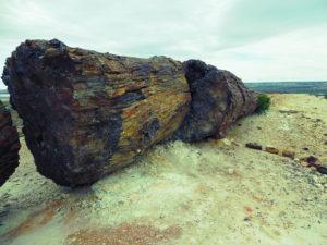 Jamarillo   arbre pétrifié