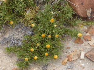Jamarillo   la flore du site