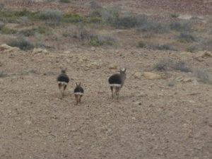 Jamarillo   les lièvres de Patagonie