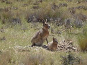 Péninsule Valdes le lièvre et son petit
