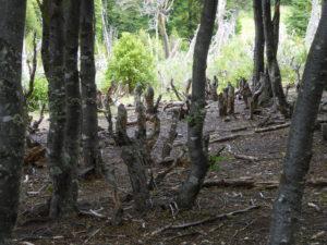 Les dégâts causés par l'invasion des castors
