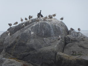 Sur leur rocher les cormorans et mouettes