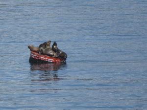 Lions de mer sur une bouée