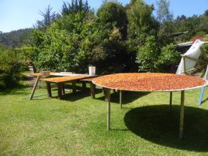 Le séchage des abricots dans le jardin