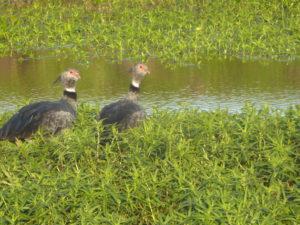 Kamichis à collier oiseaux des marais