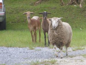 au camping parmi les moutons