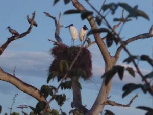 un couple de Jaribus dans leur nid haut perché