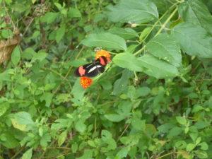 Il y a toutes sortes de papillons près des chutes