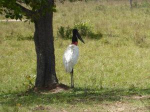 jabiru : emblème du Pantanal