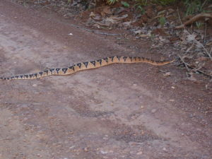 Serpent sur le chemin