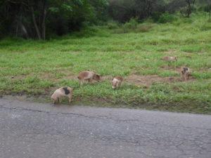 Les petits cochons au bord de la route