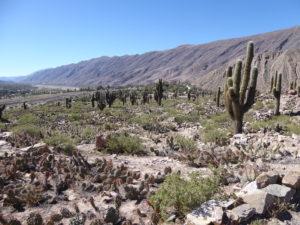 les cactus sont nombreux dans la montagne