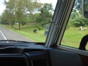 Les vaches paissent sur le bord de la route
