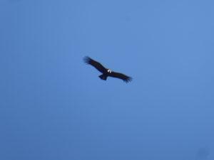 le vol du condor