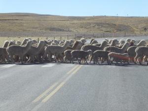 alpagas et moutons