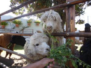 Alpaga à la fabrique de laine