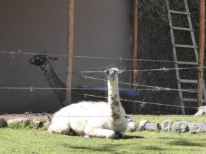 lama à la fabrique de laine