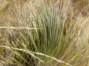 La plante puyas Raimondi à 10 ans