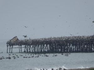 une forêt de pélicans sur le ponton à Pisco
