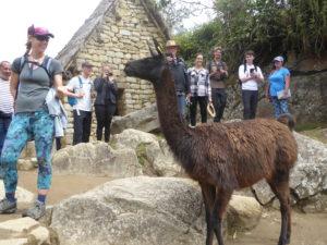 le lama fait son show