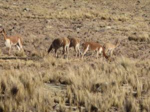 les vigognes dans les sommets des Andes