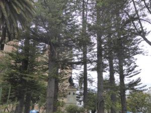 Araucaria sur la place Calderón