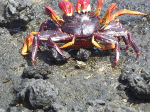 crabe des Galápagos