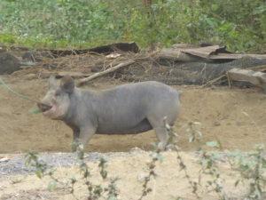 ce cochon n'est pas très content d'être attacher