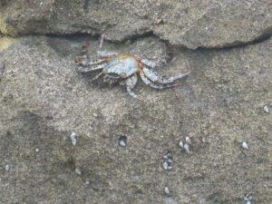 crabes aux belles couleurs