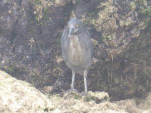 héron des Galápagos