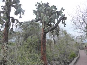 Opuntias arbre endémique des îles