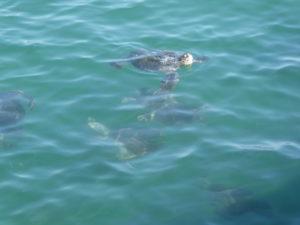 Les tortues se régalent des déchets de poissons