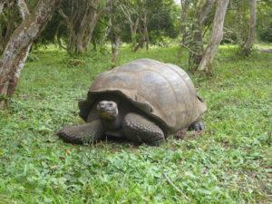 tortues terrestres géantes