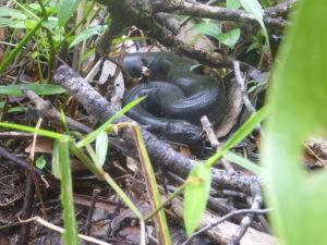 jeune anaconda