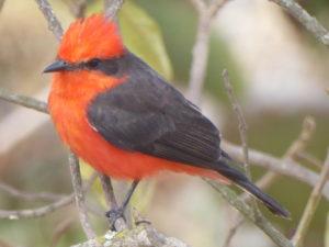 au camping à Quito  un cardinal