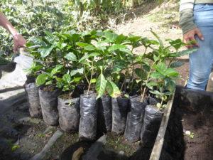 les plants de café