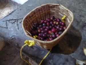 les graines de café après récolte