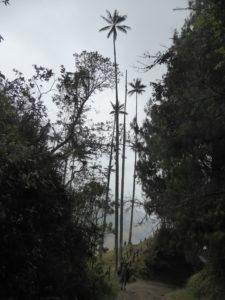 les palmiers de cire