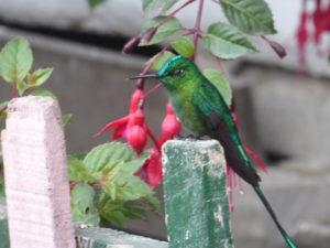 colibri dans la vallée de Cocora