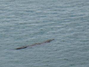 Un crocodile à la sortie de l'écluse