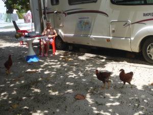 au camping parmi les poules